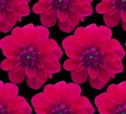 Dalii rewolucjonistki wzór bezszwowy piękny kwiat tło Fotografia Stock