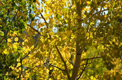 Daling Aspen Leaves Silhouetted van de Bergen Stock Fotografie
