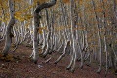 Daling in een bos van verdraaide bomen Stock Foto