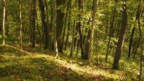 Daling Forest Series - Bladeren die op de helling van een heuvel in de vroege herfst leggen stock video