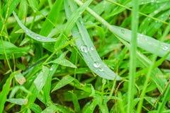 Daling op groen lang blad in padieveld in de vroege ochtend in regenachtig seizoen Stock Afbeelding