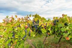 Daling tussen de rijen van wijnstokken Royalty-vrije Stock Foto
