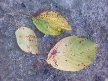 Daling van de drie de gele bladerenherfst Stock Afbeeldingen