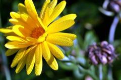 Daling van ochtenddauw op bloem Stock Foto