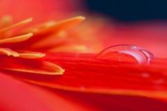 Daling van water op Rode dichte omhooggaand van het geberabloemblaadje Stock Afbeelding