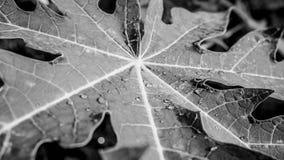 Dalingen op de Zwart-witte bladeren Stock Afbeeldingen