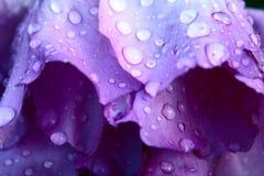 Dalingen op pionbloemblaadjes Stock Afbeeldingen
