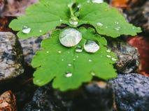 Dalingen van dauw op de groene bladeren van celandine Royalty-vrije Stock Afbeelding