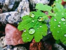 Dalingen van dauw op de groene bladeren van celandine Stock Foto