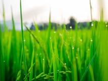 Dalingen van dauw op een groene padie in het moring Stock Fotografie