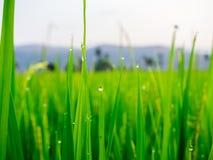 Dalingen van dauw op een groene padie in het moring Stock Foto's