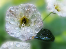 Dalingen van dauw op een witte bloem Stock Foto