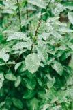 Dalingen van dauw op groene bladeren De dagconcept van de aarde Royalty-vrije Stock Foto's