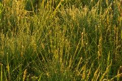 Dalingen van dauw op het ochtendgras in de het plaatsen zon Stock Foto