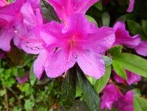 Dalingen van de bloemen van de dauwrododendron royalty-vrije stock foto