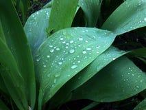 Dalingen van ochtenddauw op de bladeren van een tulp Royalty-vrije Stock Afbeelding