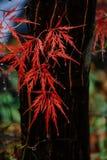 Dalingen van regen op de bladeren van rode esdoorn Royalty-vrije Stock Fotografie