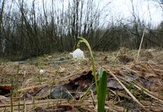 Dalingen van regenwater op de eerste de lentebloemen - sneeuwklokjes Stock Foto's