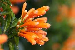 Dalingen van water op dichte bloemen Royalty-vrije Stock Foto's