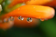 Dalingen van water op een bloem Stock Fotografie