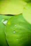 Dalingen van water op een lotusbloemblad Stock Fotografie