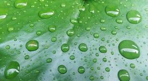 Dalingen van water op een lotusbloemblad Royalty-vrije Stock Fotografie