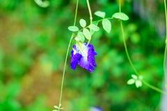 Dalingen van water op een mooie erwtenbloemen royalty-vrije stock fotografie
