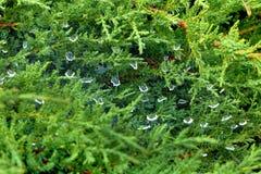 Dalingen van water op een spinneweb Royalty-vrije Stock Afbeelding