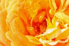 Dalingen van water op geel roze bloemblaadje Stock Afbeelding