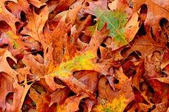 Dalings bruine eiken bladeren Royalty-vrije Stock Afbeelding