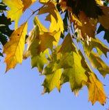 Dalings eiken bladeren Royalty-vrije Stock Afbeelding