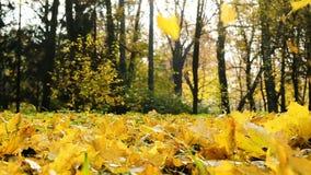 Dalingsbladeren in de gouden herfst, vlieg van esdoorn de gele bladeren in de wind en daling aan de grond op een zonnige dag, lan stock video