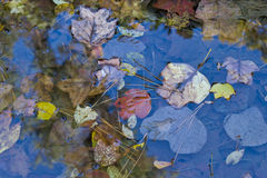 Dalingsbladeren in een Pool van Water Stock Afbeeldingen