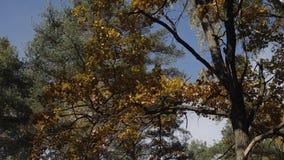 Dalingsbladeren met de blauwe hemelachtergrond Kleurrijk gebladerte in het de herfstpark het geruis van de wind stock video