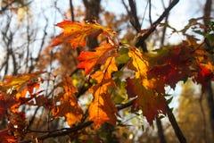 Dalingsbladeren met zonlicht het filtreren door hen tegen vaag recent dalingsbos Stock Foto's