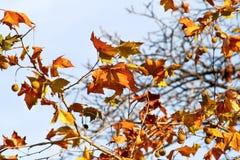 Dalingsbladeren op een boom, op de achtergrond van de hemel, dichte omhooggaand Gekleurde bladeren in de herfstseizoen De zonnige Royalty-vrije Stock Afbeeldingen