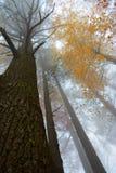 Dalingsbomen in mistig bos Royalty-vrije Stock Foto's