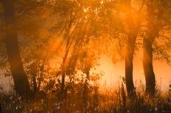 Dalingsbos, mist, ochtend, avond, heldere gele zon Zeldzame galant Stock Afbeeldingen