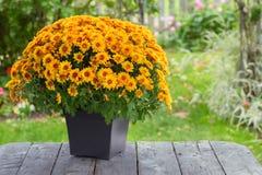 Dalingschrysant Royalty-vrije Stock Foto