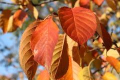 Dalingsgebladerte Autumn Leaves Royalty-vrije Stock Foto's