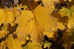 Dalingsgebladerte Helder Geel Autumn Leaves Stock Foto