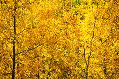 Dalingsgebladerte met Aspen Trees Stock Afbeeldingen