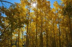 Dalingsgebladerte op Geel Aspen Trees die met hun Autumn Colors pronken stock fotografie