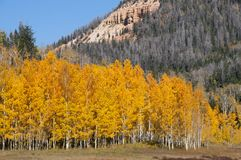 Dalingsgebladerte op Geel Aspen Trees die met hun Autumn Colors pronken stock foto's