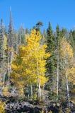 Dalingsgebladerte op Geel Aspen Trees die met hun Autumn Colors pronken stock afbeelding