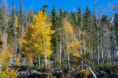 Dalingsgebladerte op Geel Aspen Trees die met hun Autumn Colors pronken royalty-vrije stock fotografie