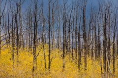 Dalingskleur en Aspen Trees Royalty-vrije Stock Fotografie