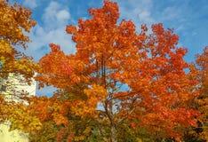 Dalingslandschap van helder gekleurde bomen met gedraaide bladeren oranje-bruin stock fotografie