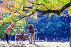 Dalingsseizoen met mooie esdoornkleur in Nara Park, Japan Royalty-vrije Stock Afbeelding