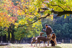 Dalingsseizoen met mooie esdoornkleur in Nara Park, Japan Stock Foto
